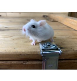 Rescue Robo Dwarf Hamster (6 months old) Male
