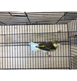 Male Canary 01