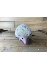 Baby Male Hedgehog (DOB: 4/8/21)