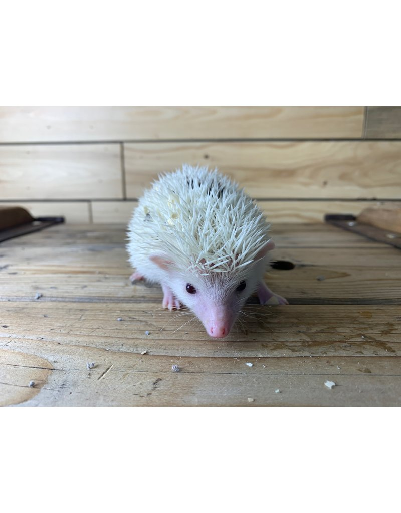 Baby Male Hedgehogs (Litter DOB: 7/30/20)