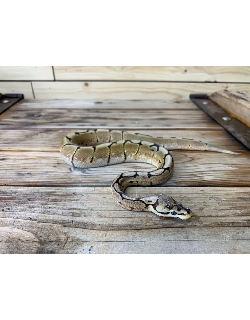 Baby Spider Yellow Belly Ball Python