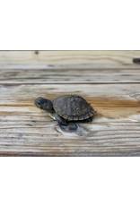 Three Toe Box Turtle