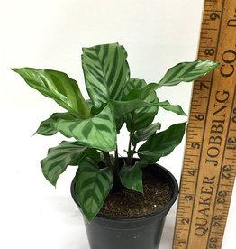 """Calathea conicinna - 4"""" pot"""