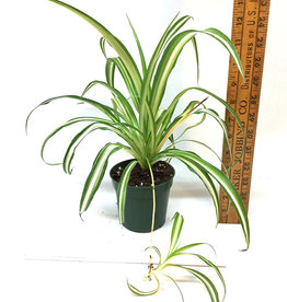 Chlorophytum comosum/Spider Plant