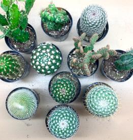 """Cactus Mini  2""""-3"""" Group A"""