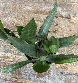"Sansevieria hyacinthoides - 8"""