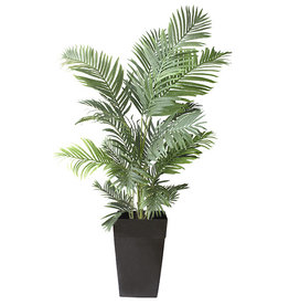 Veronneau Areca palm in black planter 6 x 4'