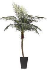 Veronneau 8' Phoenix palm tree