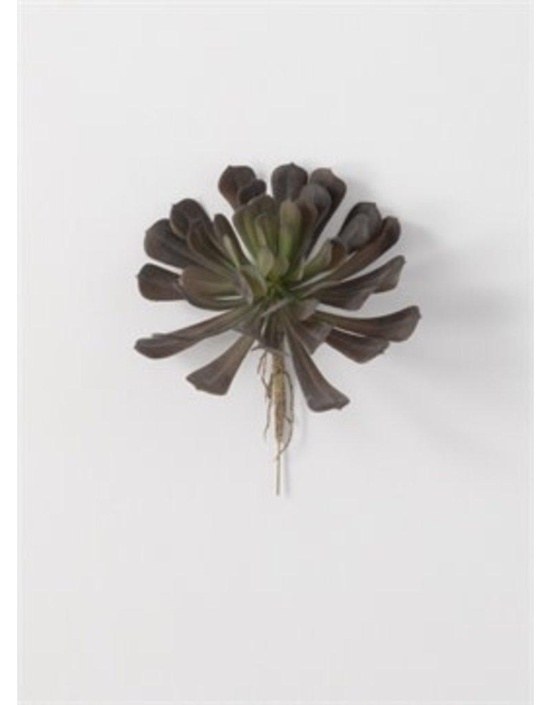 Echeveria succulent 02580px