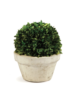 Boxwood Topiary - Large Ball in Pot