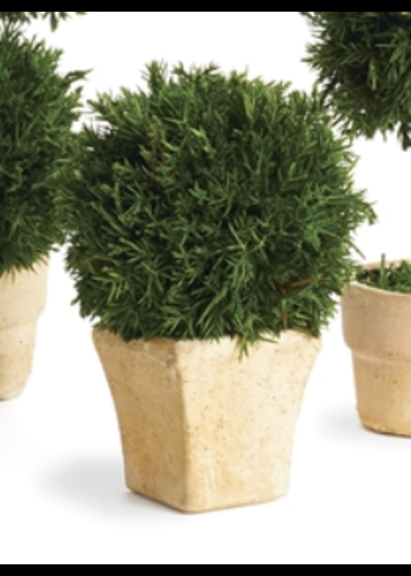 Cypress Mini Topiary in Pot - Single Ball Square