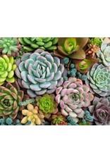 Pink Picasso Kit- Sensitive Succulents