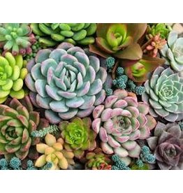 Pink Picasso Kit- Sensitive Succulents