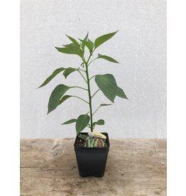 PEPPER LONG HOT ORGANIC PLANT