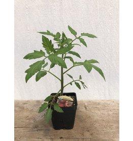 TOMATO CHEROKEE PURPLE ORGANIC PLANT