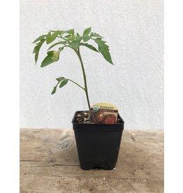 TOMATO PINK BERKLEY TIE DYE ORGANIC PLANT