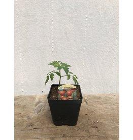 TOMATO PINK BUMBLEBEE ORGANIC PLANT
