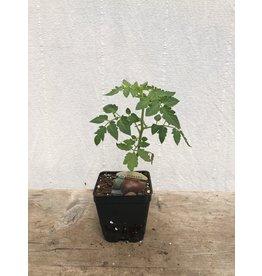 TOMATO PURPLE BUMBLEBEE ORGANIC PLANT