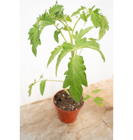 TOMATO PLANT - EARLY GIRL