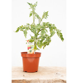 TOMATO PINEAPPLE PREMIER ORGANIC PLANT