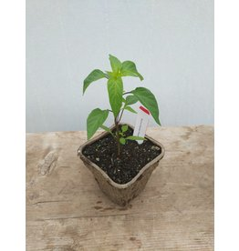 PEPPER BUENA MULATA GREENSGROW GROWN