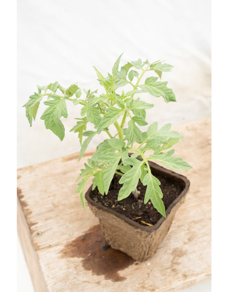 GOLDIE TOMATO GREENSGROW GROWN