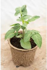 MANDURANG MOON TOMATO GREENSGROW GROWN