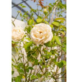 ROSA x CLOUD TEN CLIMBING WHITE #5