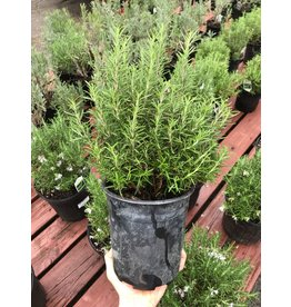 Rosemary - 'Hill Hardy' 1 Gallon