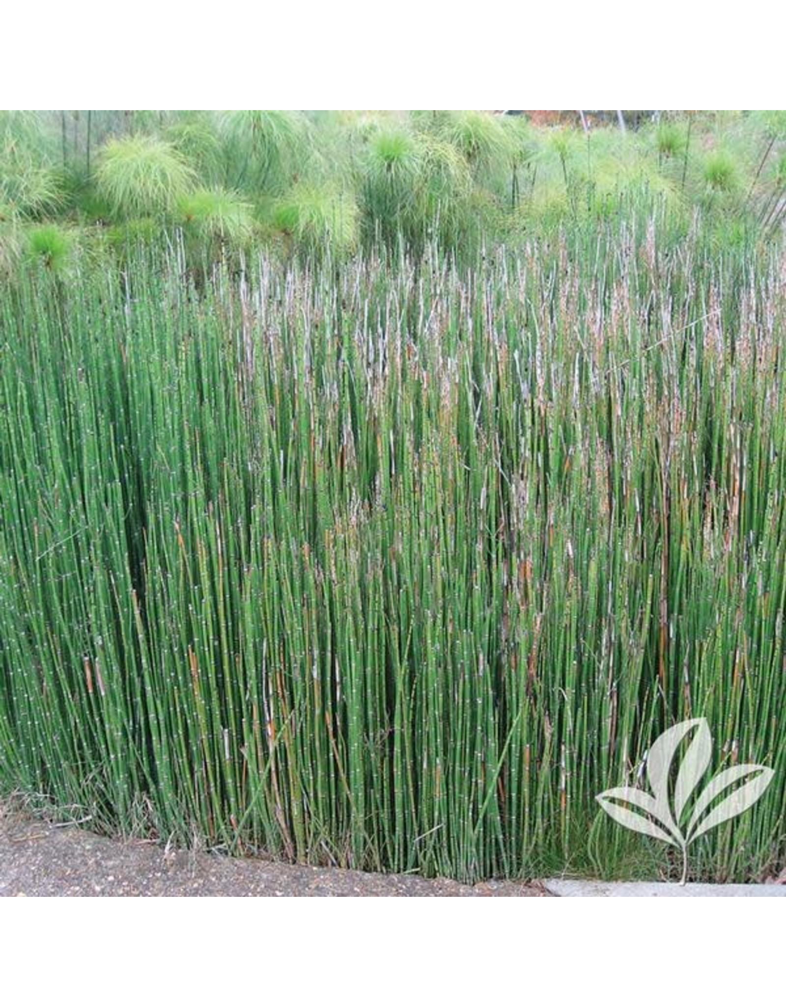 Horsetail Reed - 1 Gallon
