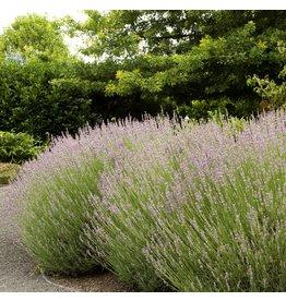 Lavender - 'Provence' - 1 Gallon