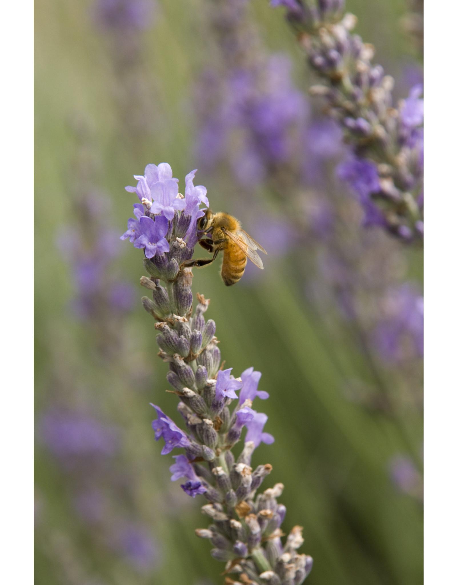 Lavender - Lavandula Intermedia 'Provence' - 1 Gallon
