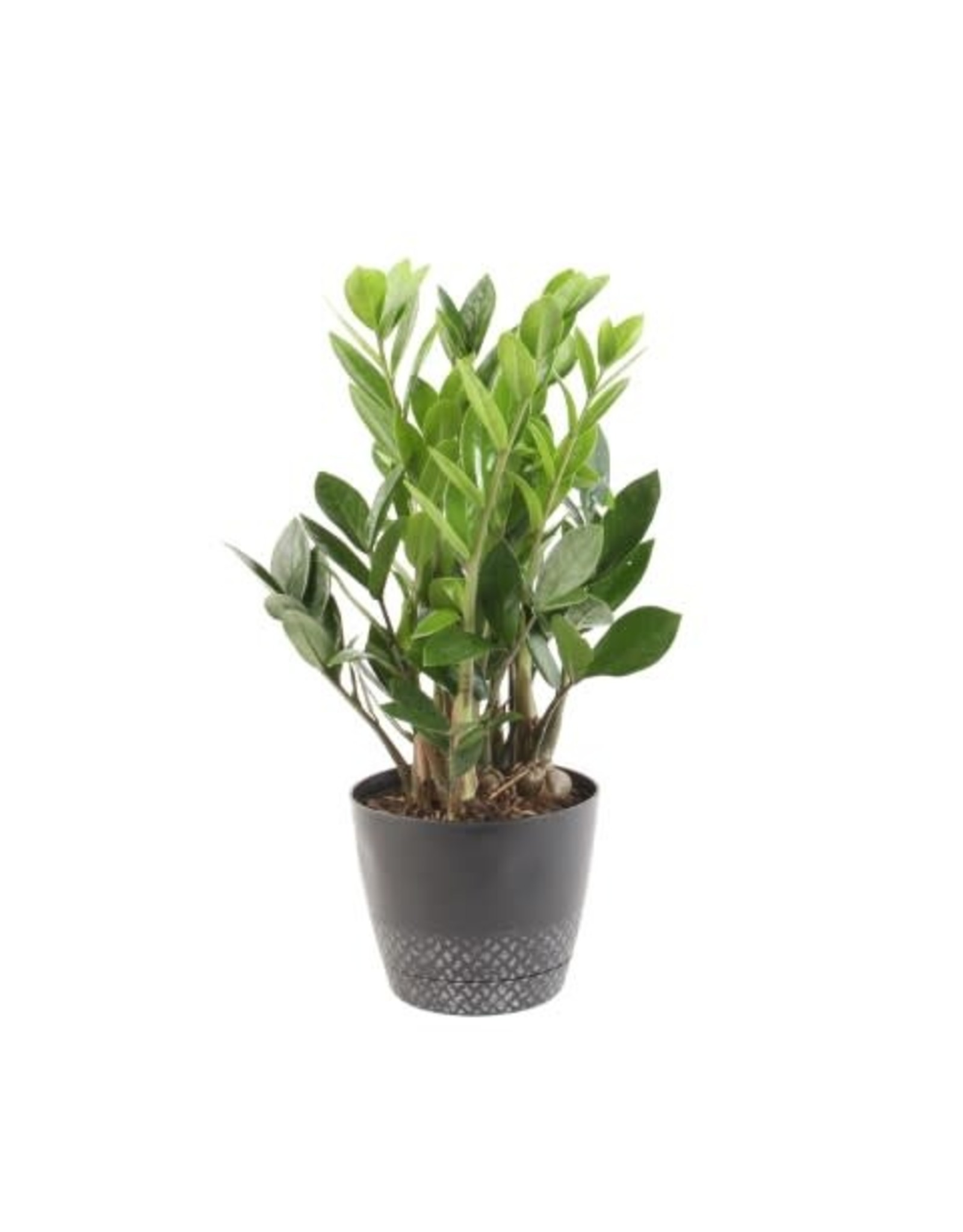 """ZZ Plant - Zamioculcas Zamifolia 6"""""""
