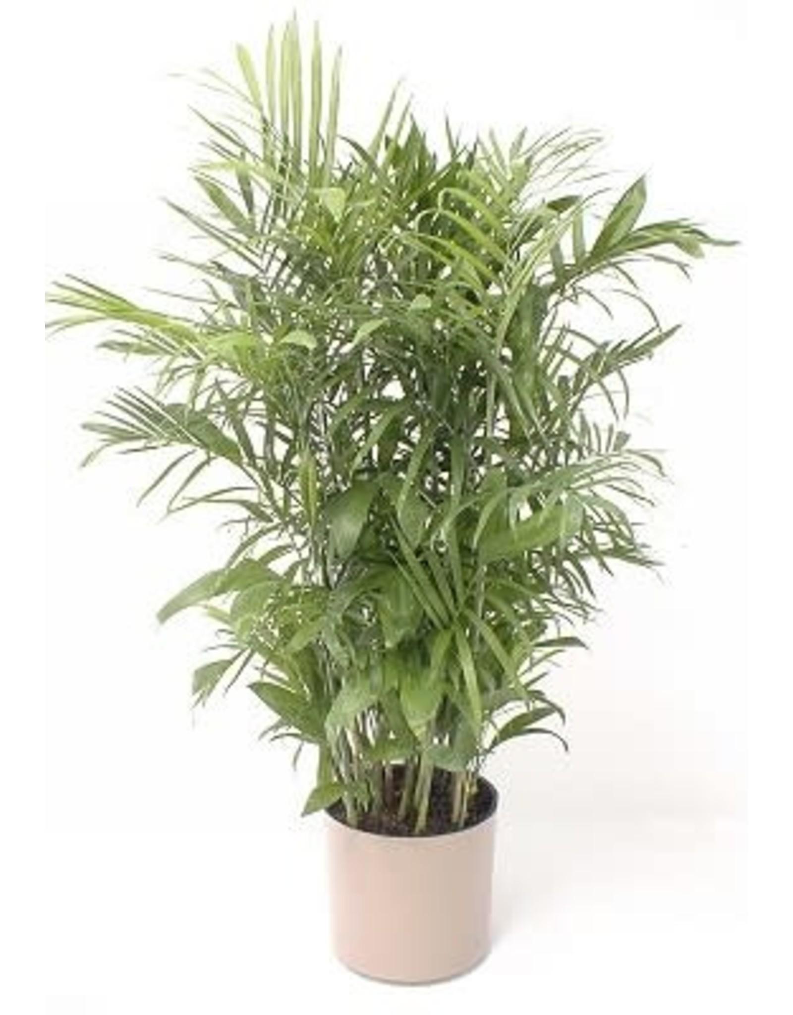 """Bamboo Palm - Chamaedorea Florida Hybrid 14"""""""