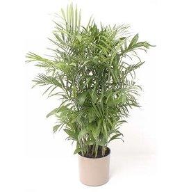 "Bamboo Palm - Hybrid 14"""