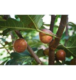 Fig, Edible - 'Chicago Hardy' 1 Gallon