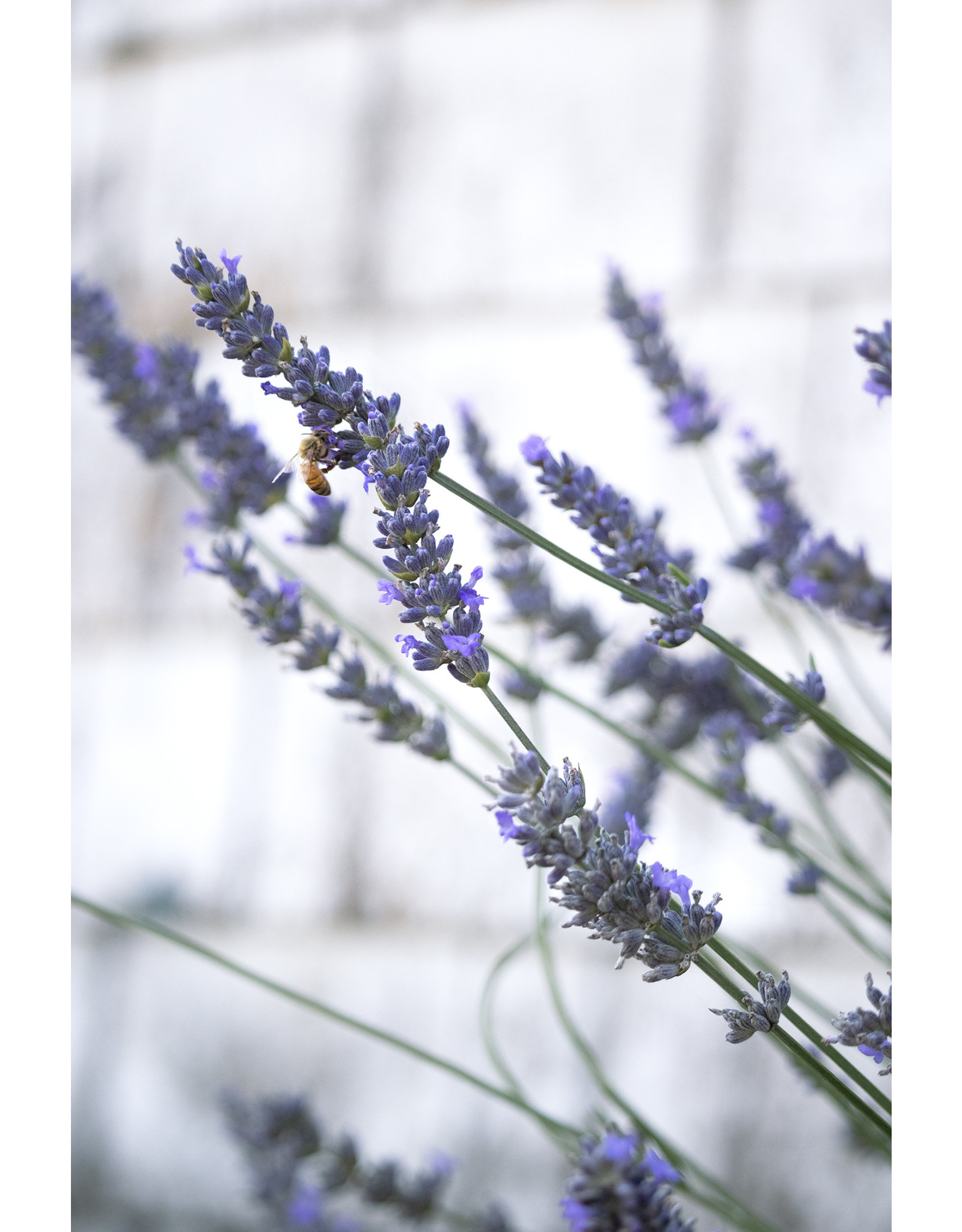 Lavender -   Lavandula Intermedia 'Phenomenal' 1 Gallon