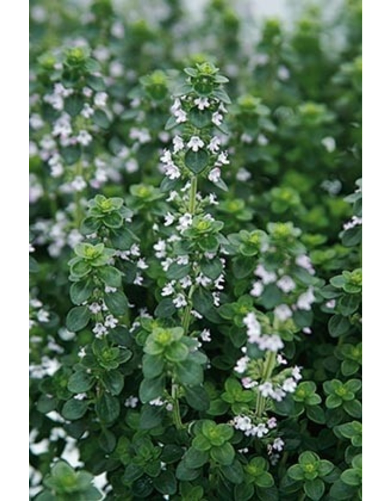 Herb - Thyme - English 4""