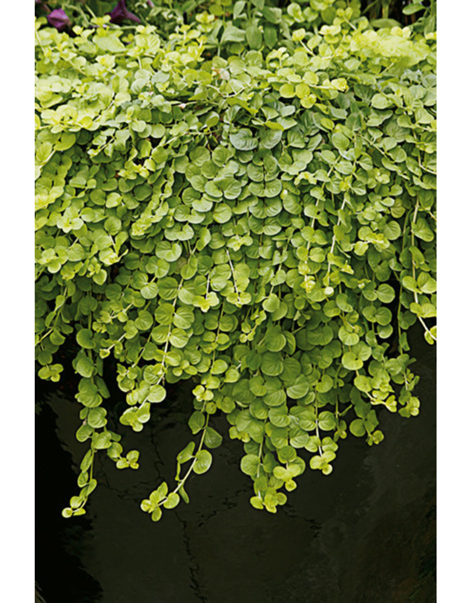 Creeping Jenny - Goldi 3.5""