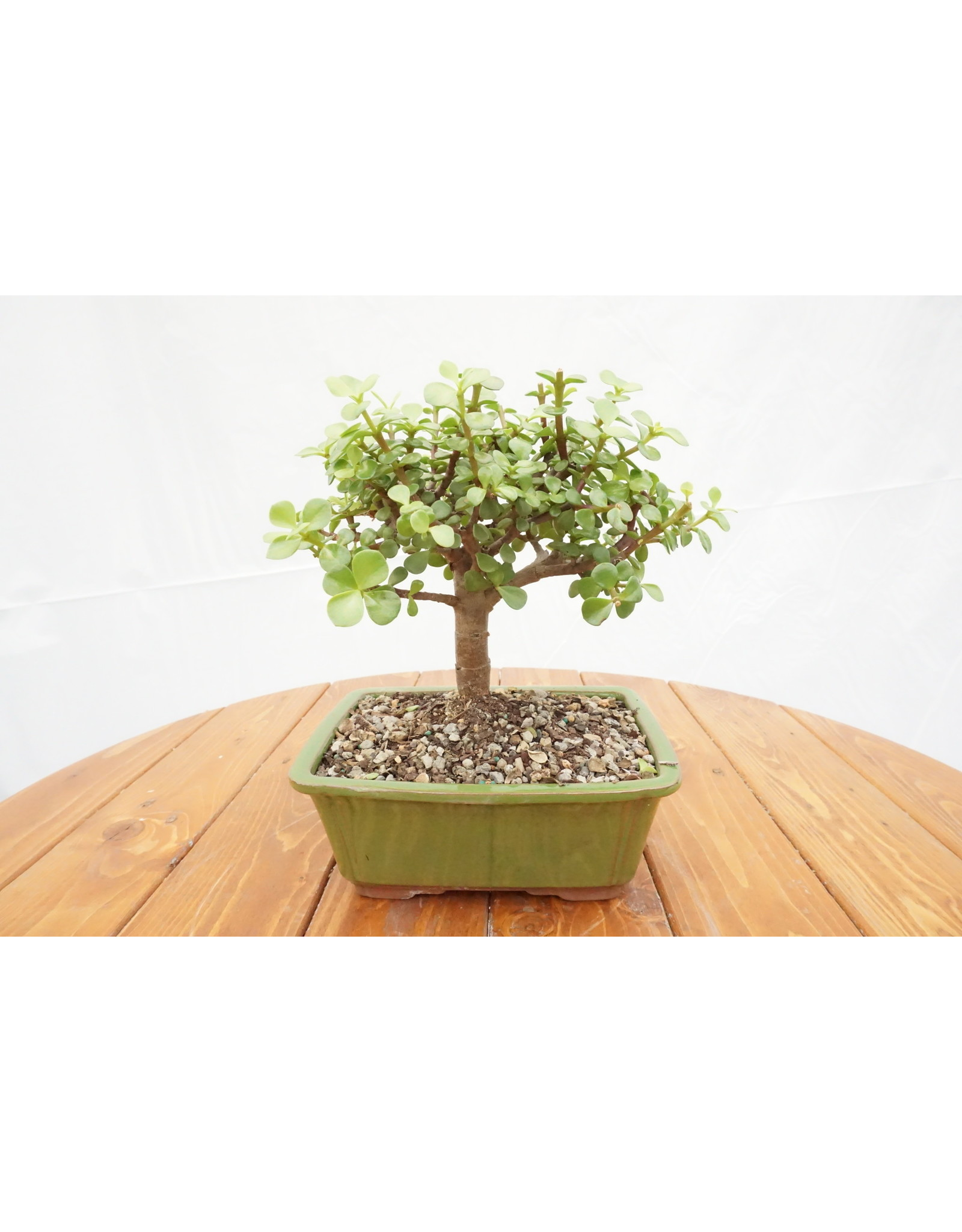Bonsai, Dwarf Jade - Crassula Ovata