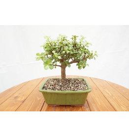 Bonsai, Dwarf Jade