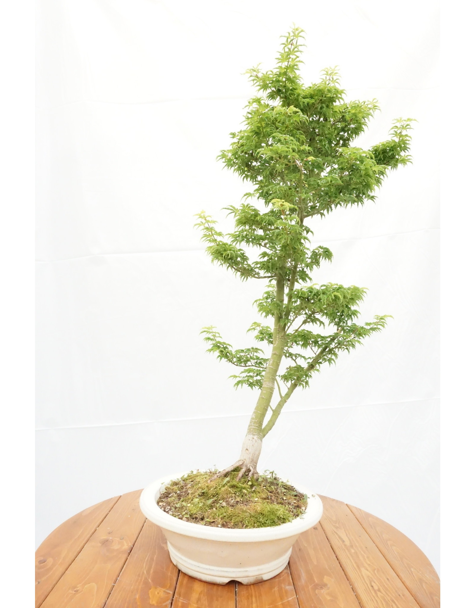 Bonsai, Japanese Maple - Acer Palmatum 'Shishigashira' 12 yr