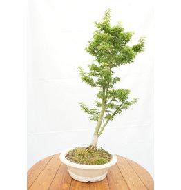 Bonsai, Japanese Maple -'Shishigashira' 12 yr