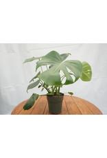"Split Leaf Plant - Monstera Deliciosa 6"""