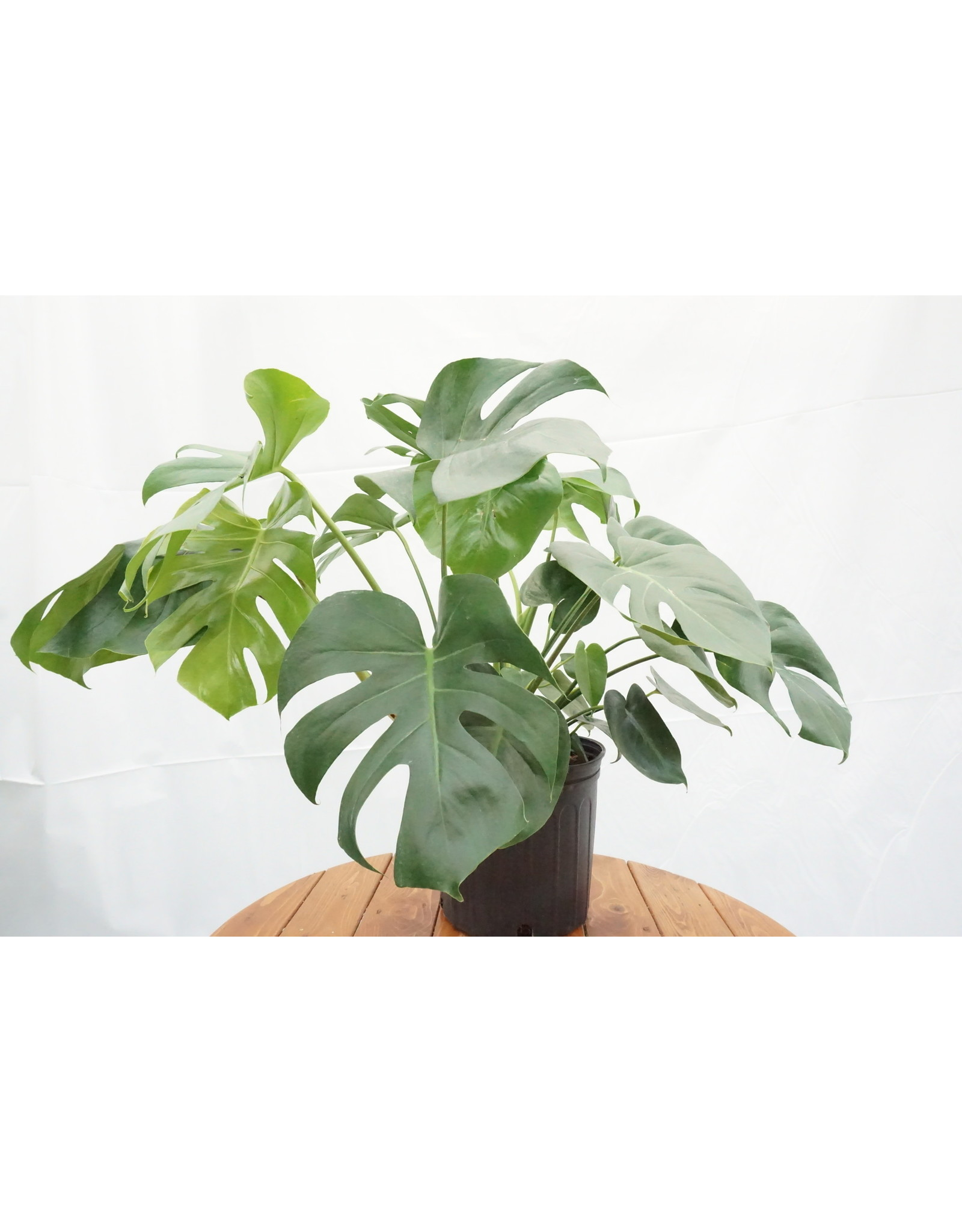Split Leaf Monstera - Monstera Deliciosa 10""