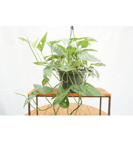 "Swiss Cheese Plant - Monstera adansonii Hanging Basket 8"""