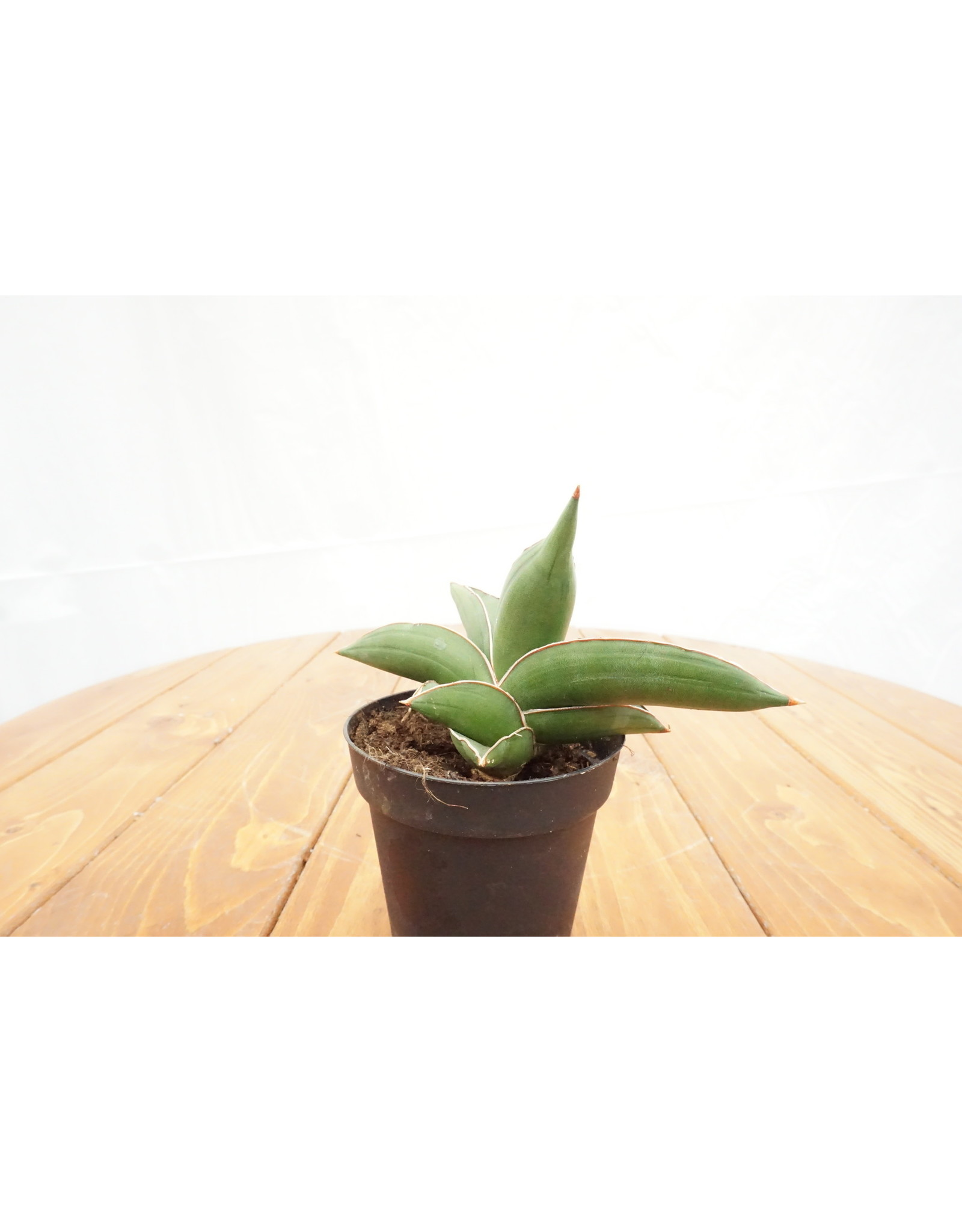 "Snake Plant - Sansevieria 'Samurai' 4"""