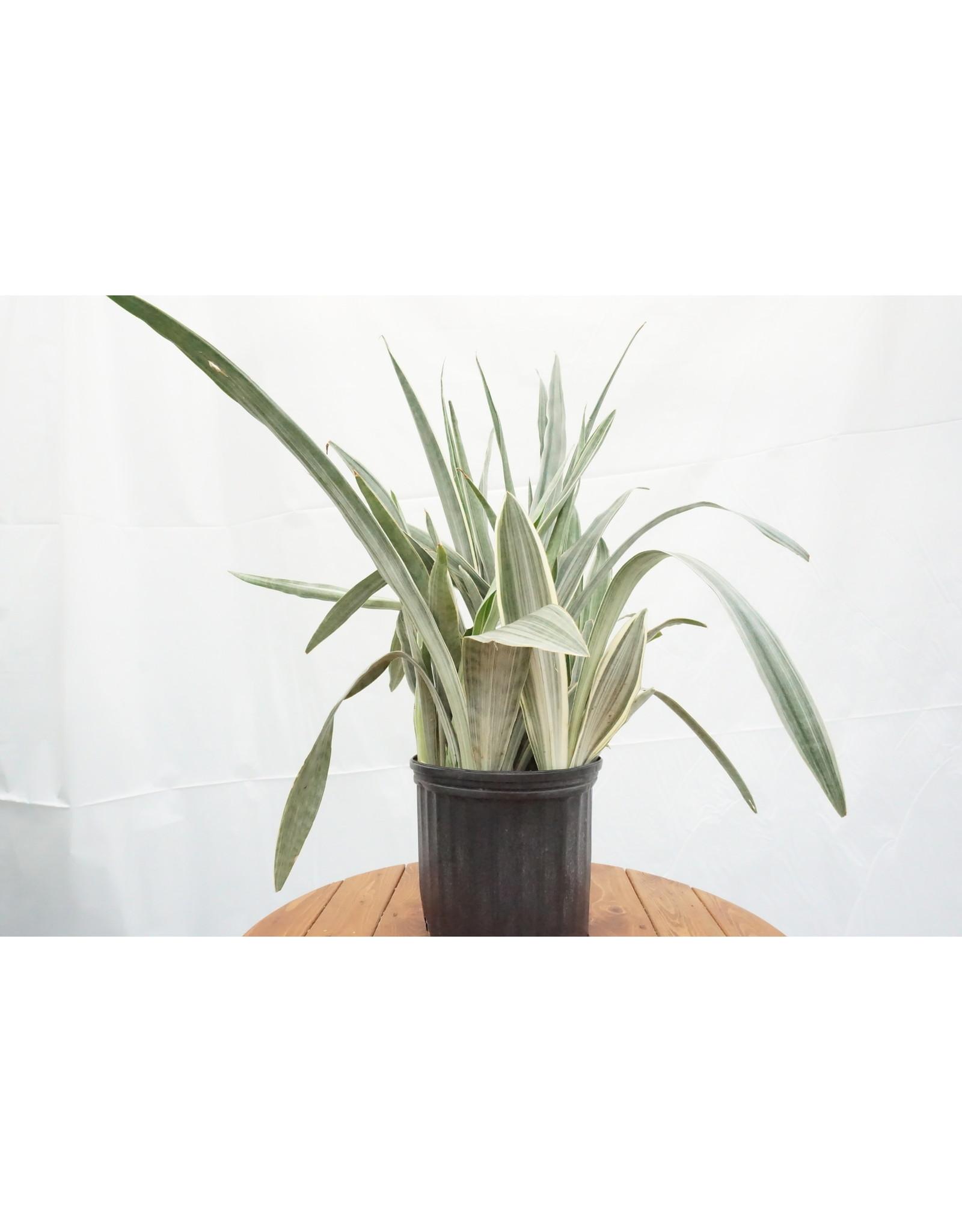 """Snake Plant - Sansevieria 'Sayuri' 10"""""""