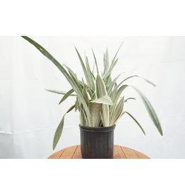 "Snake Plant - 'Sayuri' 10"""