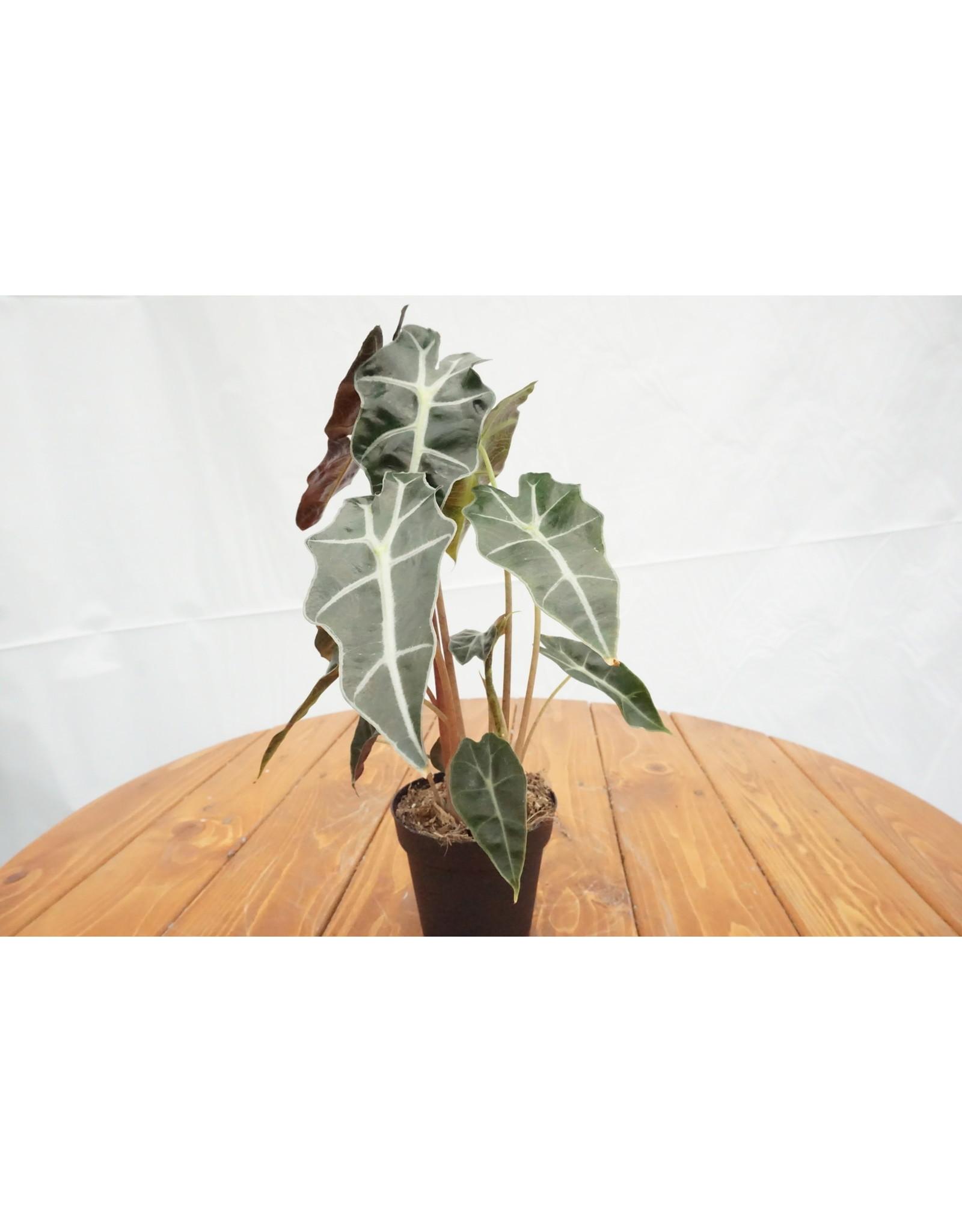 """Alocasia Polly - Alocasia 'Amazonica' 4"""""""